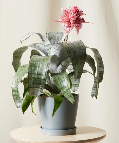 Buy Potted Bromeliad Aechmea Pink Indoor Plant   Bloomscape