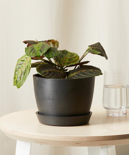 Buy Potted Red Prayer Plant (Maranta) - Bloomscape